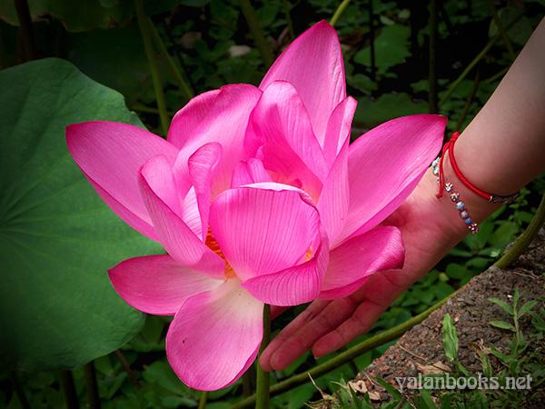 Taipei Travel Summer Lotus Flowers photography Romanticism 台北植物园 旅行台湾 夏日荷花 花卉摄影 浪漫主义 Yalan雅岚 黑摄会
